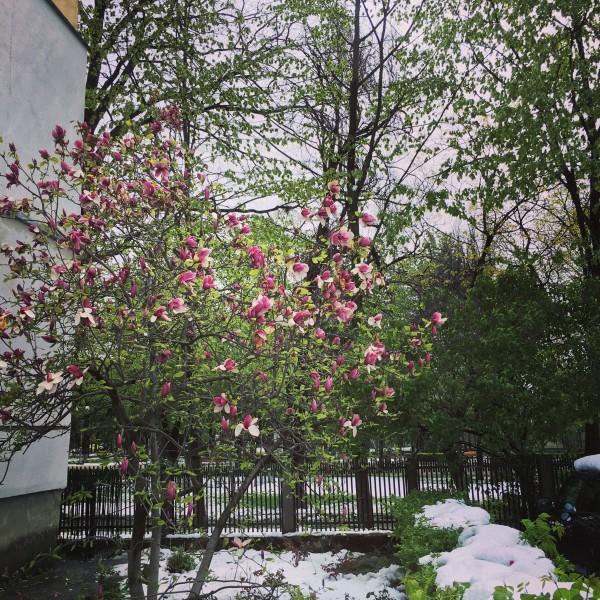 06 zapada primavara flori bacau