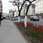 Lalele in Bacau (3)