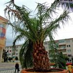 Palmier distrus de vant