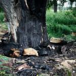 Copacul monument de pe Insula de Agrement, incendiat (2)