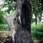 Copacul monument de pe Insula de Agrement, incendiat (3)
